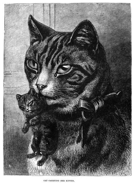 CATS. Cat carrying her kitten. Line engraving, 19th century