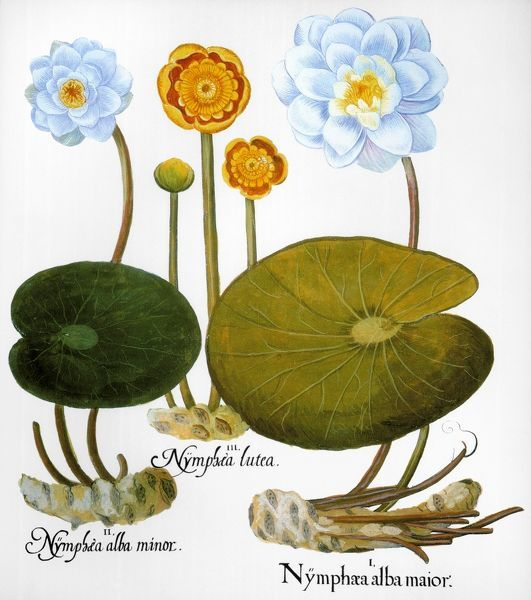 "WATER LILY, 1613. Left and right: European white water lily (Nymphaea alba), center: yellow pond lily (Nuphar lutea): engraving for Basilius Besler's ""Florilegium,"" Nuremberg, 1613"