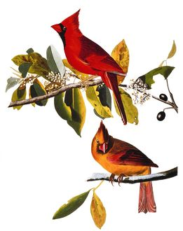 AUDUBON: CARDINAL. /nCardinal (Cardinalis cardinalis) by John Audubon for his 'Birds of America