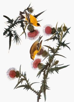 AUDUBON: GOLDFINCH. American goldfinch (Carduelis tristis), from John James Audubon's