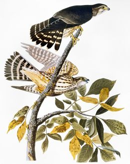 AUDUBON: HAWK. Merlin, or pigeon hawk (Falco columbarius), from John James Audubon's