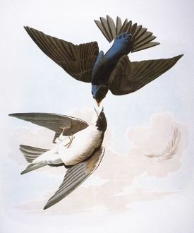 audubon/audubon swallows 1827 38 tree swallow white bellied