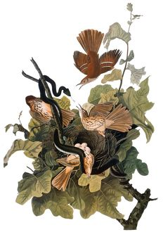AUDUBON: THRASHER. Brown thrasher, also known as Ferruginous thrush (Toxostoma rufum)
