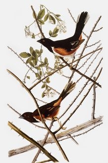 AUDUBON: TOWHEE. Rufous-sided Towhee (Pipilo erythrophthalmus), from John James Audubon's