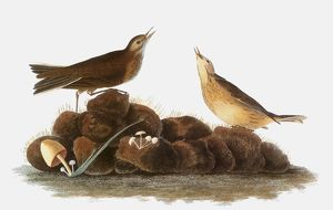 AUDUBON: WATER PIPIT, 1827. /nWater Pipit, or Brown Titlark (Anthus spinoletta)