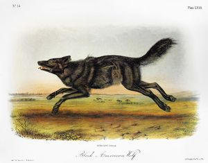 BLACK AMERICAN WOLF. Lithograph, 1846, after a painting by John James Audubon.