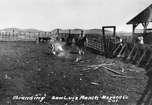 CALIFORNIA: CATTLE BRANDING. Branding cattle at the San Luis Ranch in Merced County