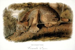 CANADA LYNX, 1846. (lynx canadensis). Lithograph, after the painting by John James