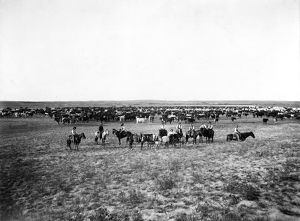 CATTLE HERDING, c1905. Cowboys with a large herd of cattle on the Great Plains