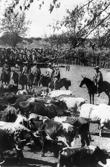 CHILE: HUASOS, c1890-1923. Huasos, Chilean cowboys, on horseback herding cattle in Chile