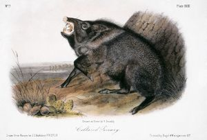 COLLARED PECCARY, 1846. Painting by John James Audubon.