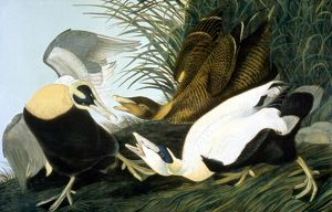 COMMON EIDER, EIDER DUCK (Somateria mollissima): lithograph, 1858, after John James
