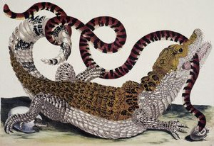 CROCODILE & SNAKE. /nA crocodile of Surinam attempting to devour a snake. Line engraving