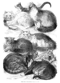 ENGLAND: CAT SHOW, 1871. /nPrize cats at the Crystal Palace Cat Show, London, England, in 1871