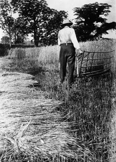 FARMER WITH CRADLE. An American farmer harvesting wheat with a cradle. Photograph