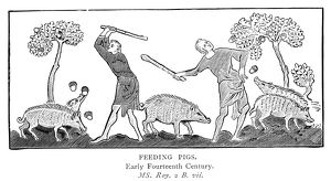 FEEDING PIGS, 14th CENTURY. Men knocking acorns out of trees to feed pigs