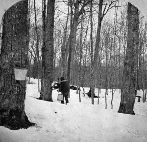 food drink/gathering sap c1900 gathering sap maple syrup