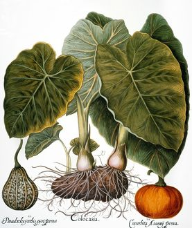 food drink/gourd cucurbitaceae family taro dasheen colocasia