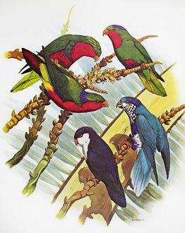 GROUP OF LORYS. Clockwise from top right: Blue-Crowned Lory, Ultramarine Lory, Tahitian Lory