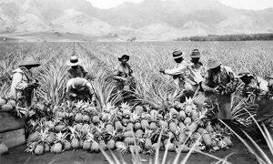 HAWAII: PINEAPPLE HARVEST. Farmers on a pineapple plantation in Hawaii, early 20th