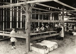 HINE: TOBACCO FARM, 1917. A group of shed workers at Hawthorn Tobacco Farm in Hazardville