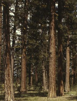 MALHEUR NATIONAL FOREST. Stand of virgin ponderosa pine trees in Malheur National Forest