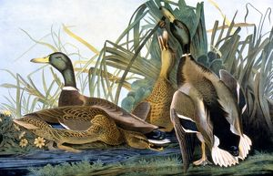 MALLARD DUCK (Anas rubripes). Lithograph, 1858, after John James Audubon.