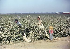 MISSISSIPPI: LABOR, 1940. Cotton picking in the vicinity of Clarksdale, Mississippi