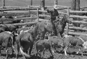 MONTANA: ROUNDUP, 1939. Cowboy roping a calf at a roundup at the Three Circle Ranch