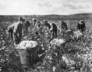 PICKING COTTON. Workers picking cotton in the southern United States. Photograph