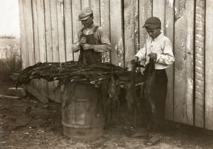 TOBACCO HARVEST, 1916. Two boys stripping tobacco on a family farm in Woodburn, Kentucky