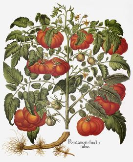 food drink/tomato lycopersicon esculentum engraving basilius