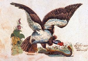 VULTURE ATTACKING A SNAKE. /nFrench color engraving, mid-19th century.