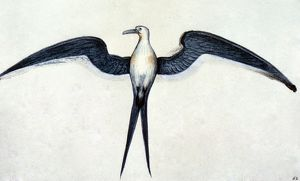 animals/white frigate bird watercolor c1585 john white