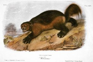 WOLVERINE. Lithograph, 1846, after a painting by John James Audubon.